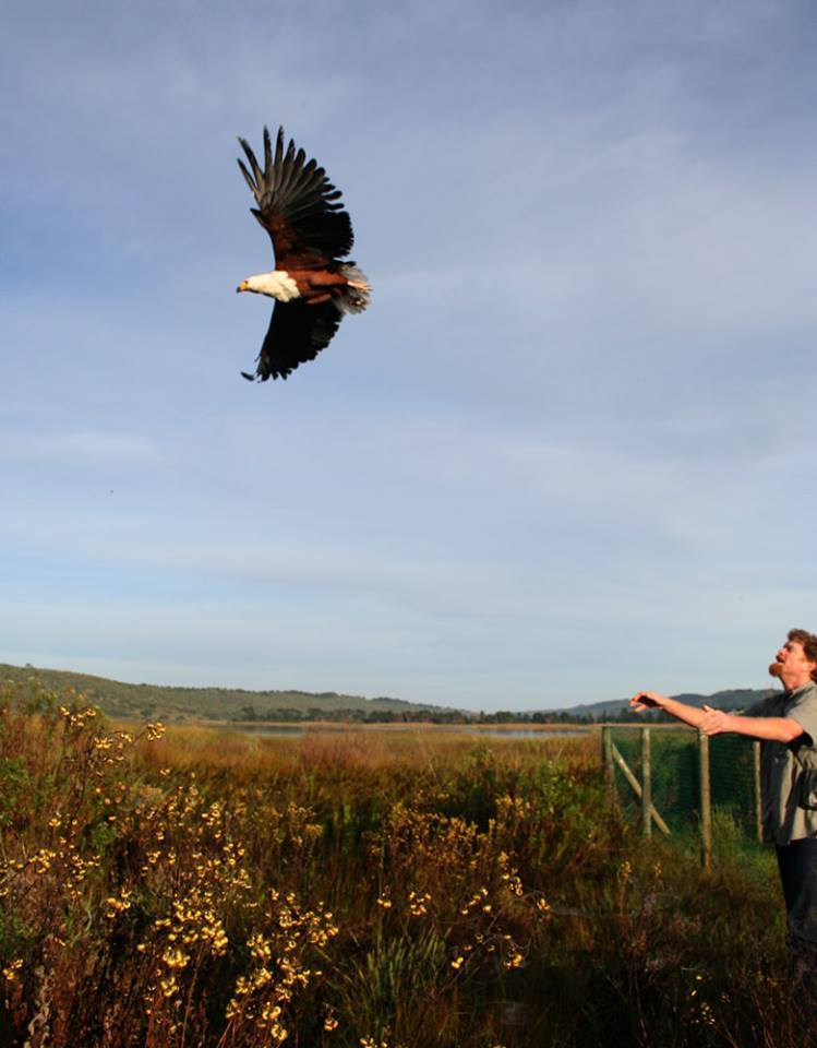 An African Fish Eagle is released back into the wild by Dennis Robson of Radical Raptors.
