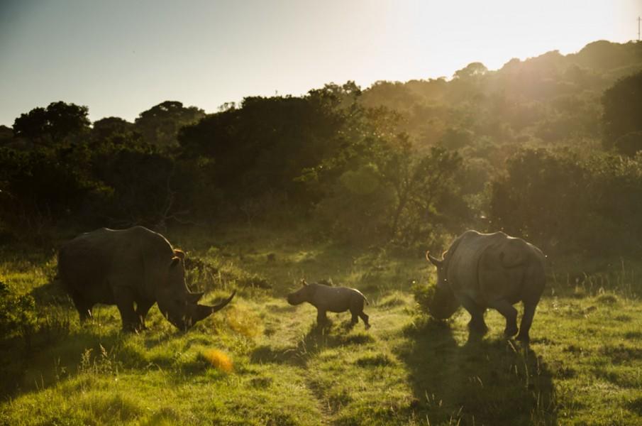 A rhino family roam free at Sibuya Game Reserve in the Eastern Cape.
