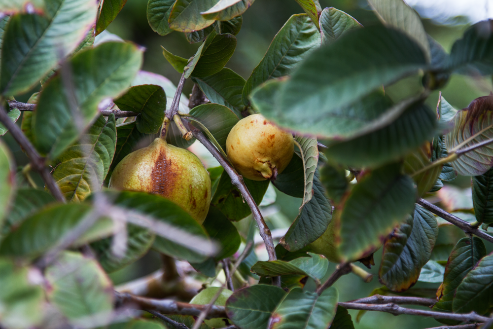 Some perfectly round guavas © David Peter Harris