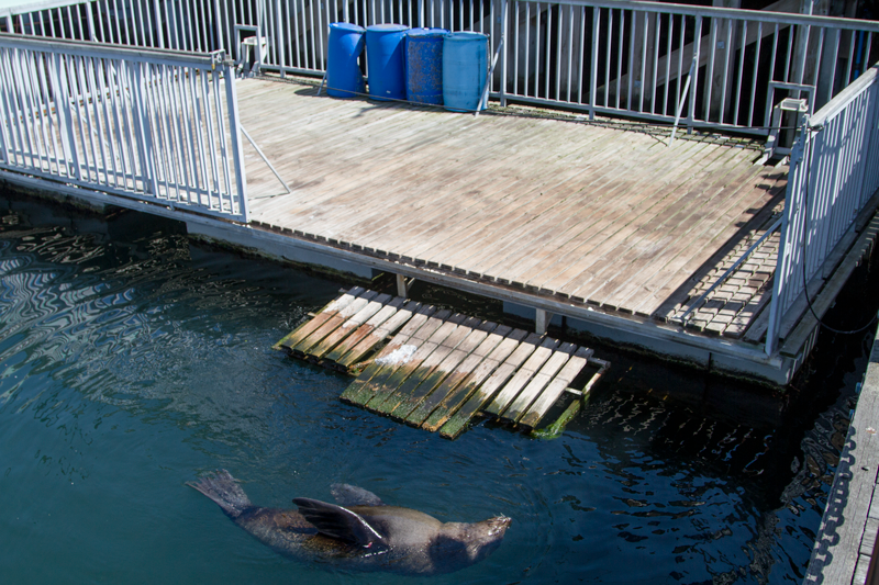 When entangled seals haul out onto this platform to rest, Aquarium staff attend to the dangerous task of releasing the animal from its trappings. © David Peter Harris